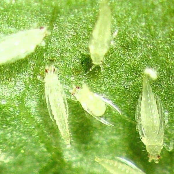Thrips Control