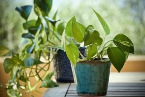 Pothos Yellow Leaves