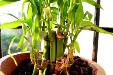 How To Plant A Bamboo Plant