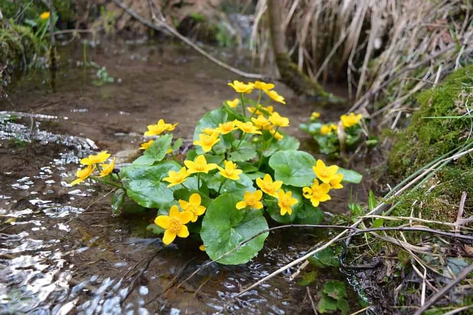 Marsh Marigolds in pond-min