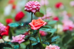 How To Grow Roses From Cuttings