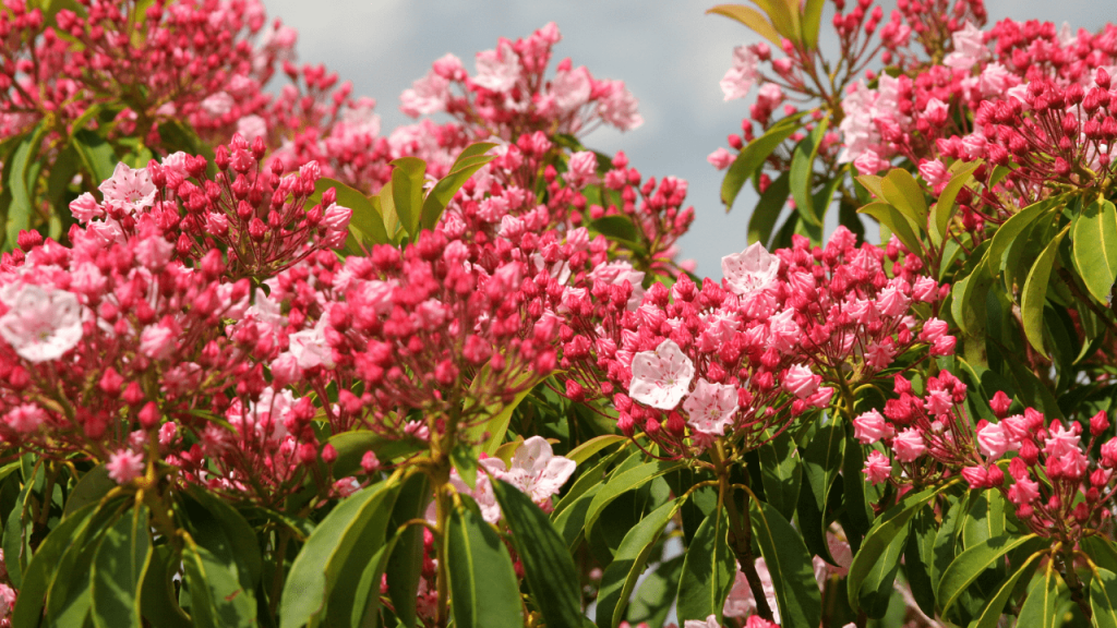 Prune Mountain Laurel Tree