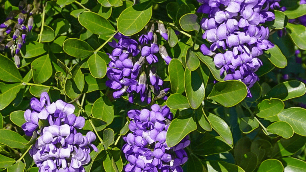 Prune Texas Mountain Laurel Tree