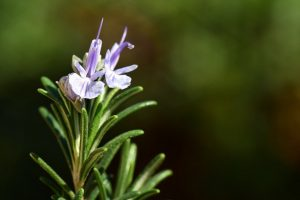 Rosemary Plant Care
