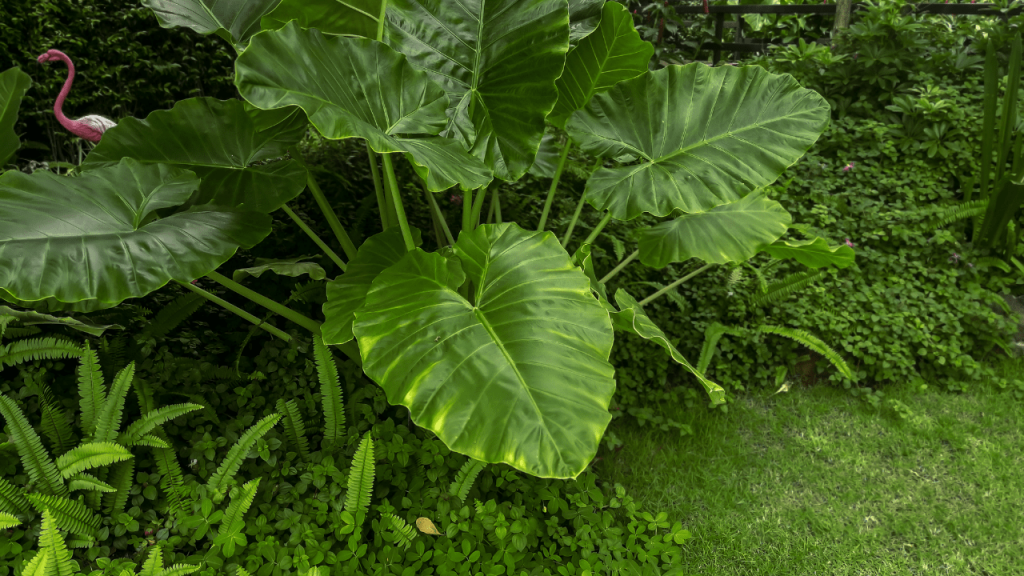 Elephant Ear Plant Care Indoor