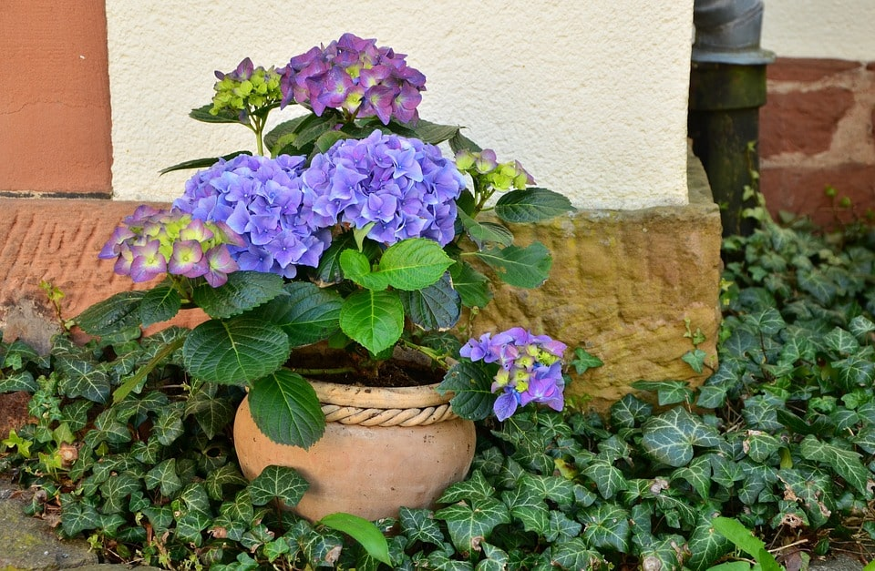 Potted Hydrangea Care