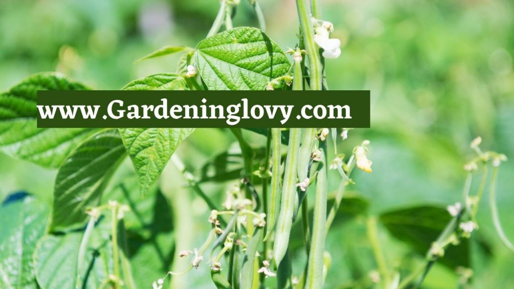 How To Grow Green Beans Outdoors