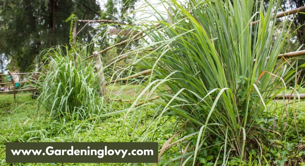 How To Grow Lemongrass From Leaves
