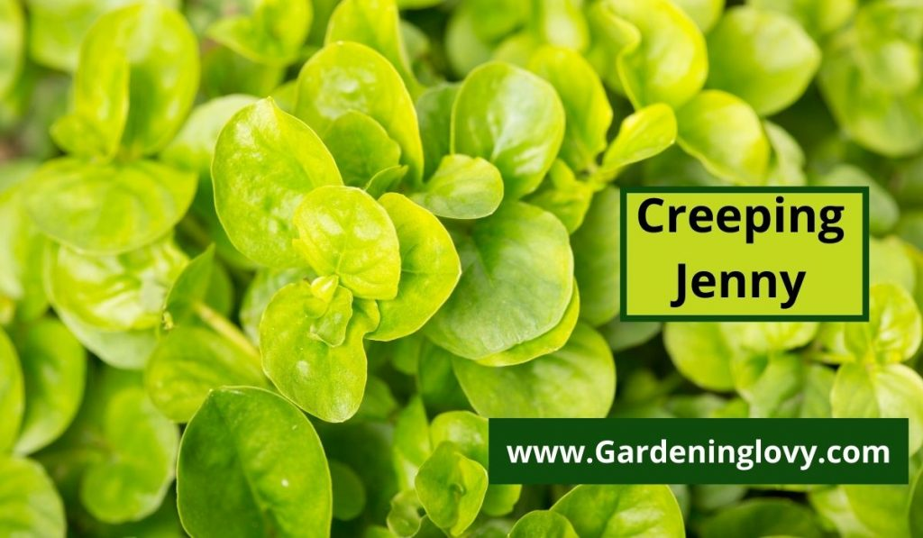 Differences Between Creeping Jenny And Creeping Charlie