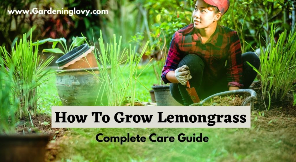 How To Grow Lemongrass From seeds