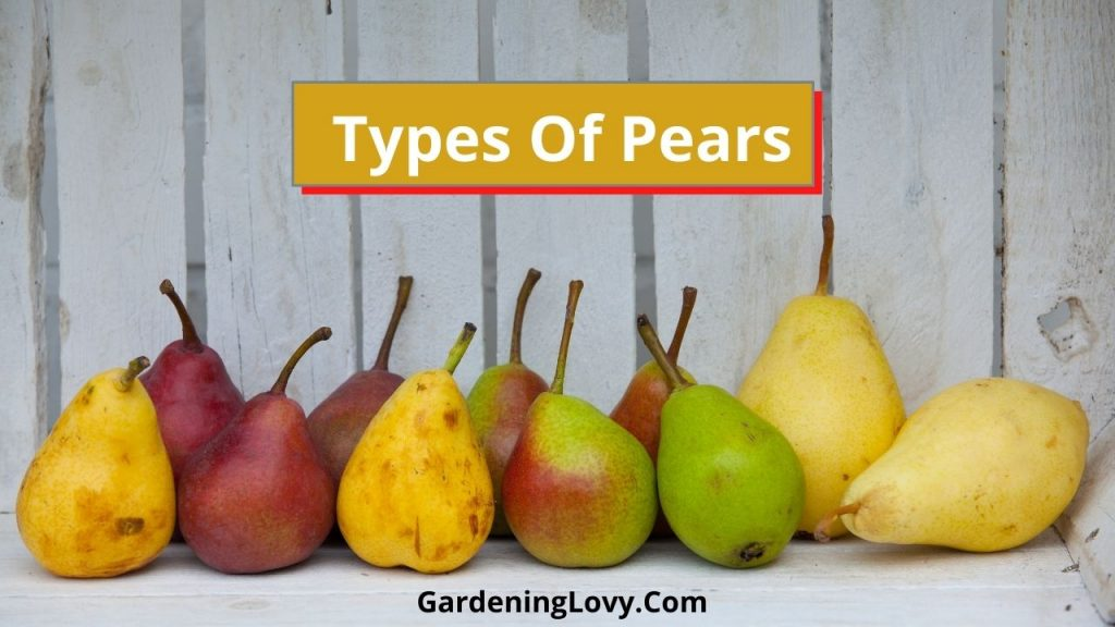 Types of Pears and How To Store Pears