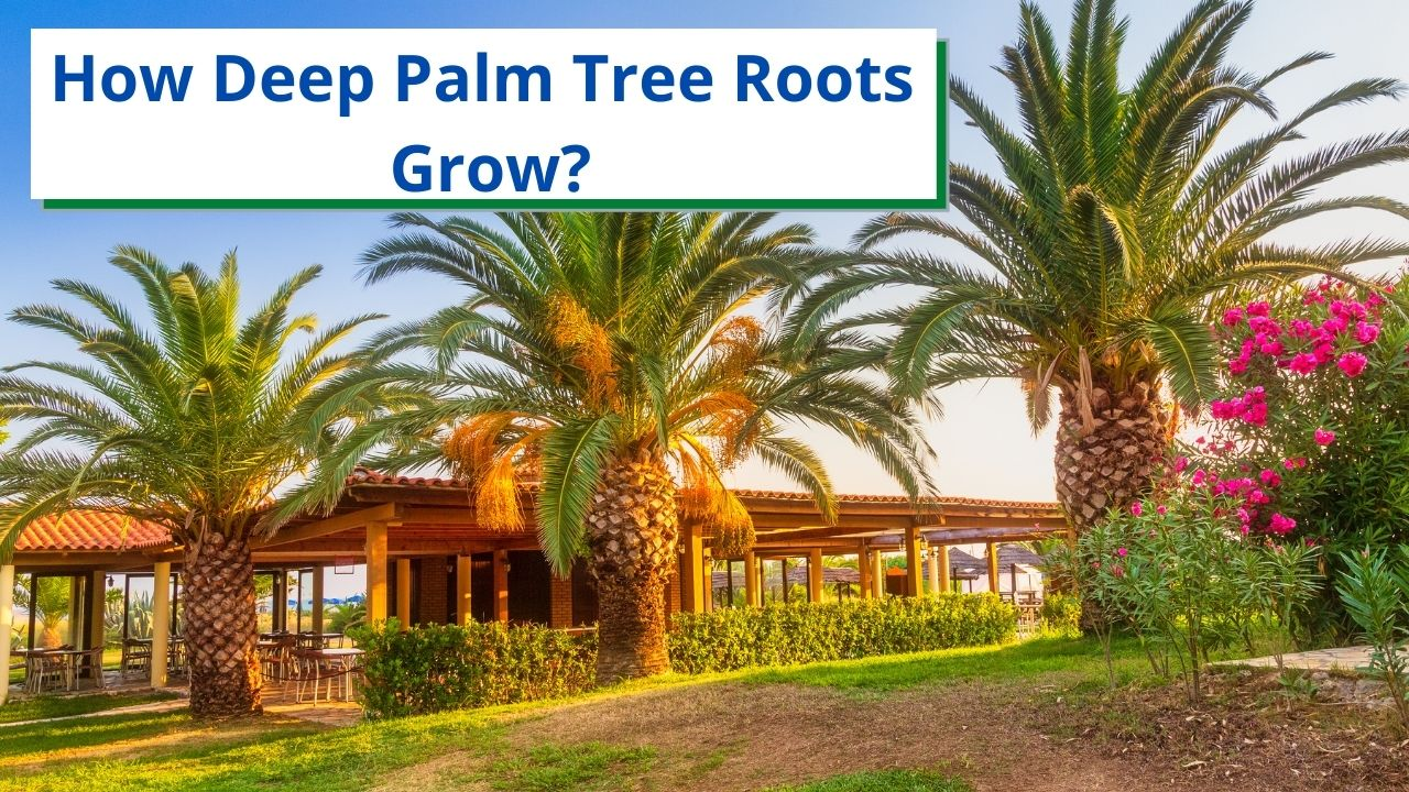 How Deep Palm Tree Roots Grow