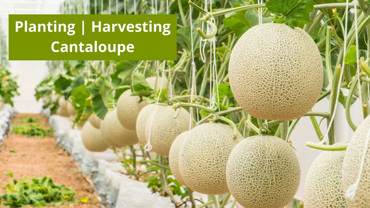 How To Grow Cantaloupe