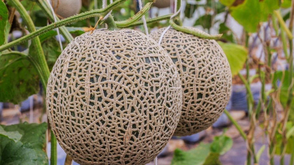 How To Grow Cantaloupe Indoors