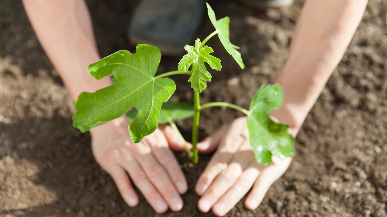 How To Plant Fig Tree From Cutting
