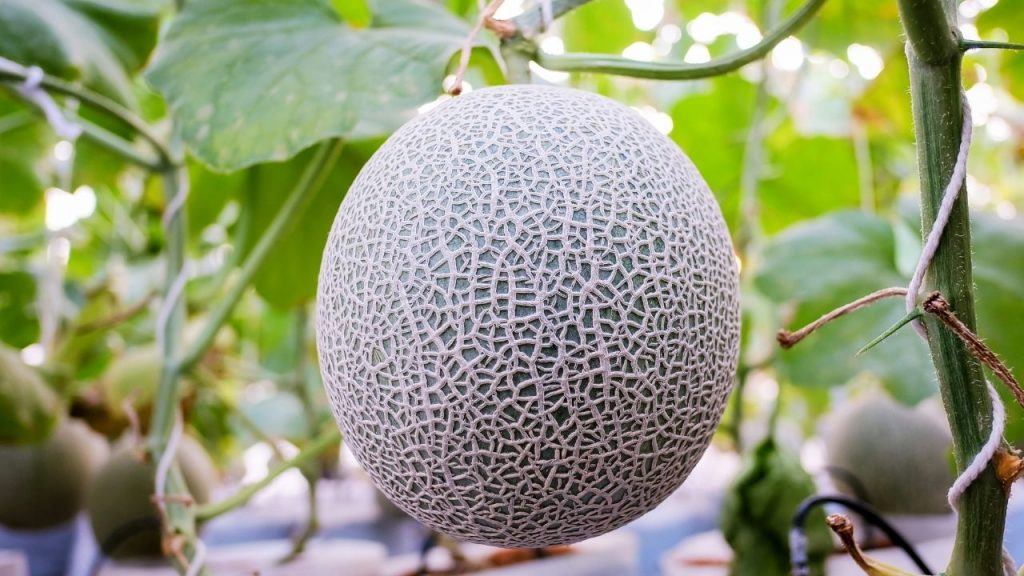 How To Store & Harvest Cantaloupe