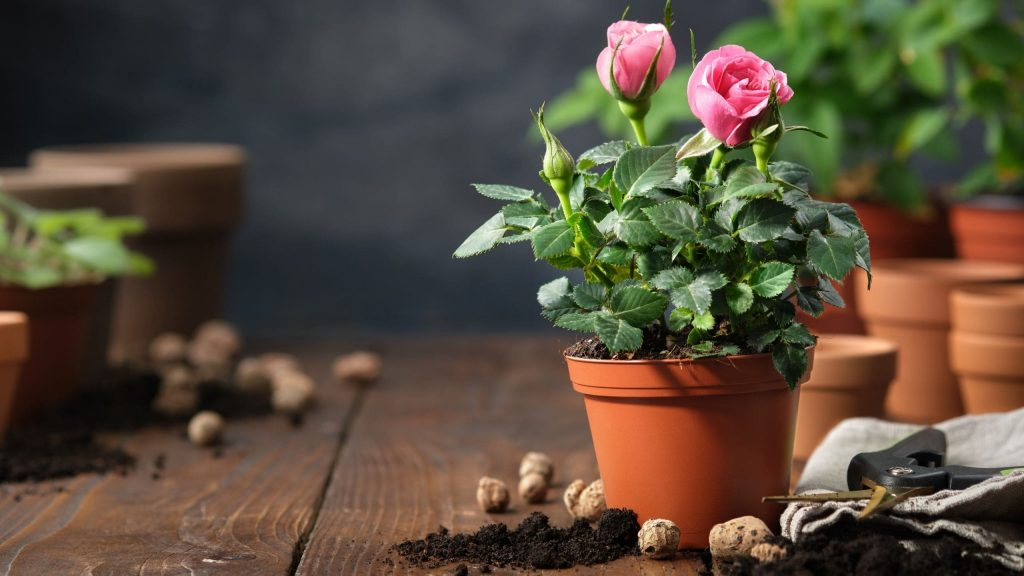 How To Care For Mini Roses Plant In Pots