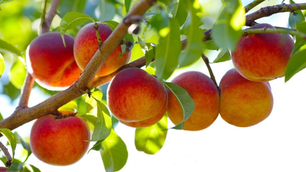 How To Grow A Peach Tree From Seed Indoors