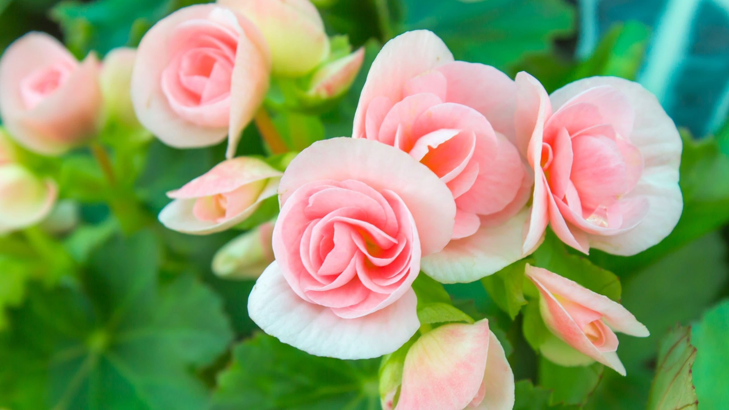 How To Care For Mini Roses