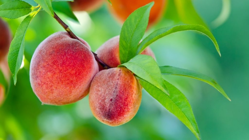 How To Grow A Peach Tree From Seed