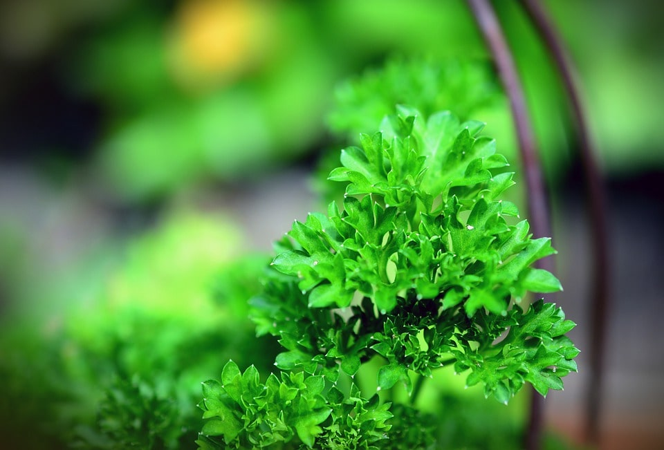 How To Harvest Parsley Without Harming The Plant