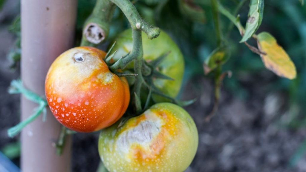 Nutrient Deficiency Leading To Yellowing Of Tomato Plants Leaves