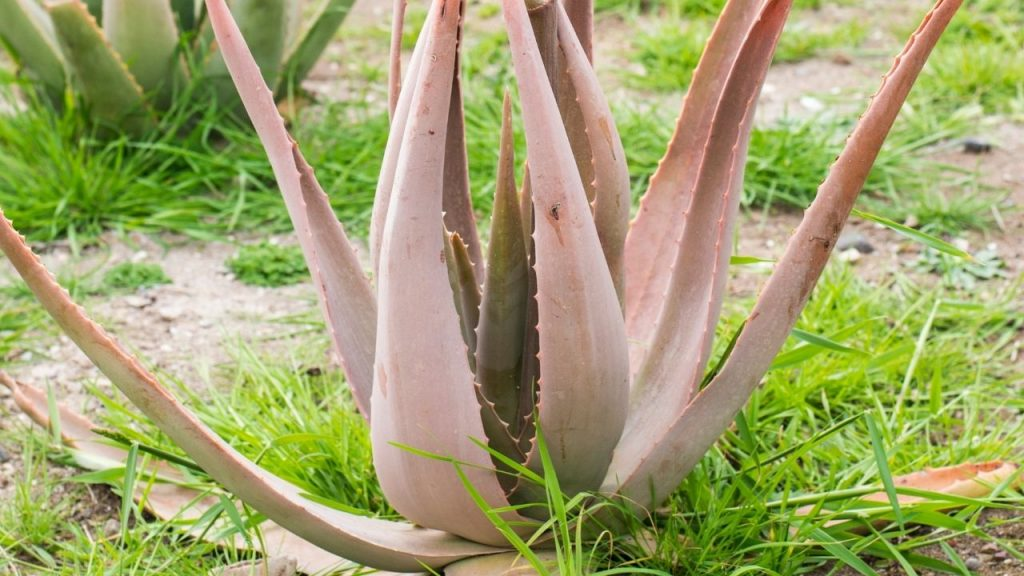 Why Your Aloe Vera Is Turning Brown and mushy